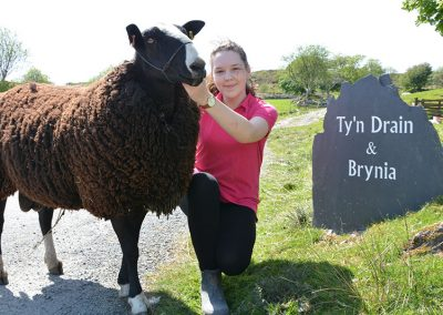 sheep_walking_snowdonia_gal_1